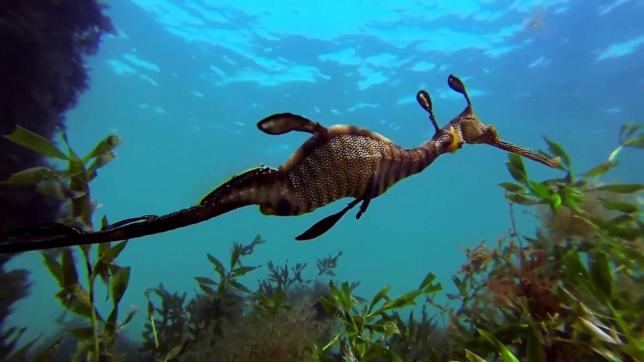 El-misterioso-mundo-de-los-caballitos-de-mar
